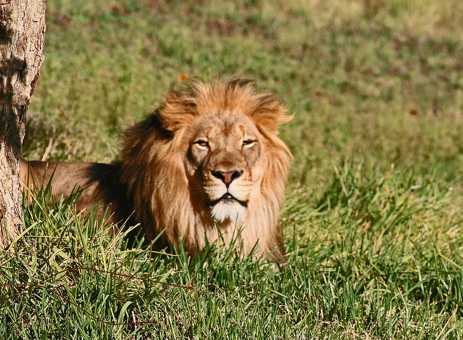 Animals Photograph - Lion by David Campbell