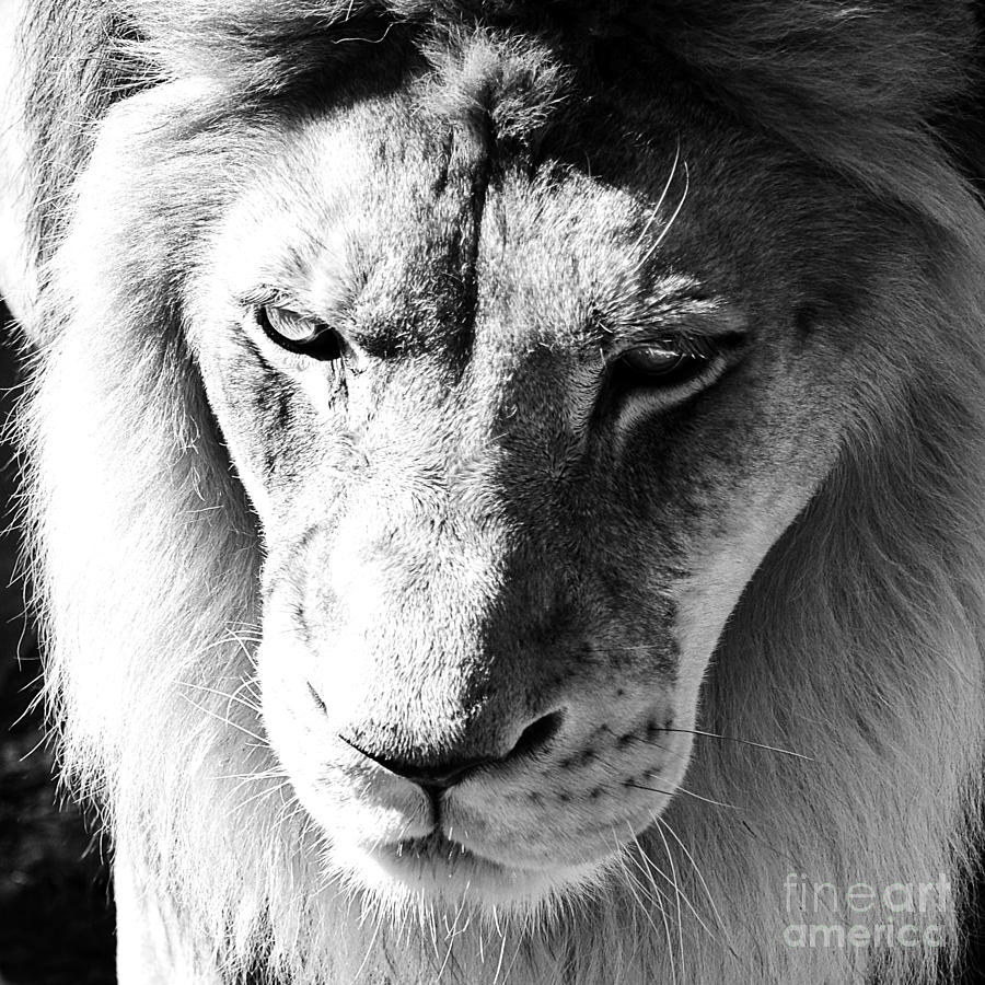 Lion head face eyes mane front view macro close up black and white photograph by shawn obrien