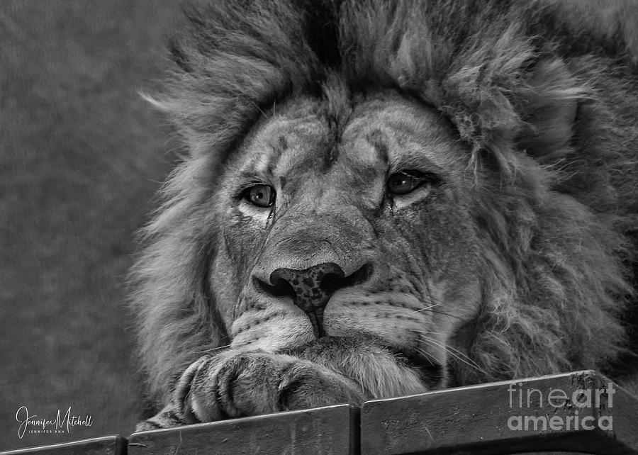 Lion Head Black And White Photography