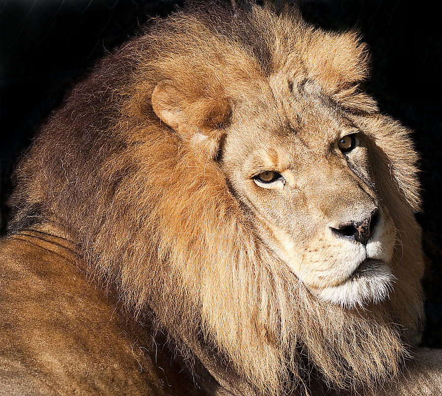 Wildlife Photograph - Lion Highlights by Kenneth Albin