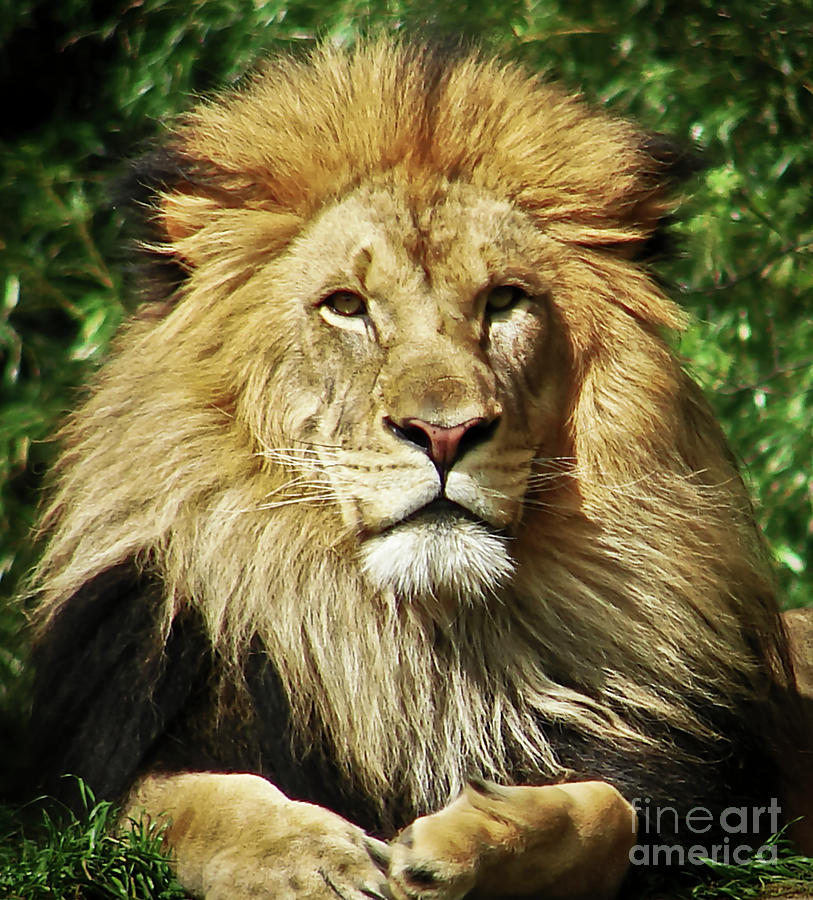 Lion Photograph - Lion King by Cathy Mounts