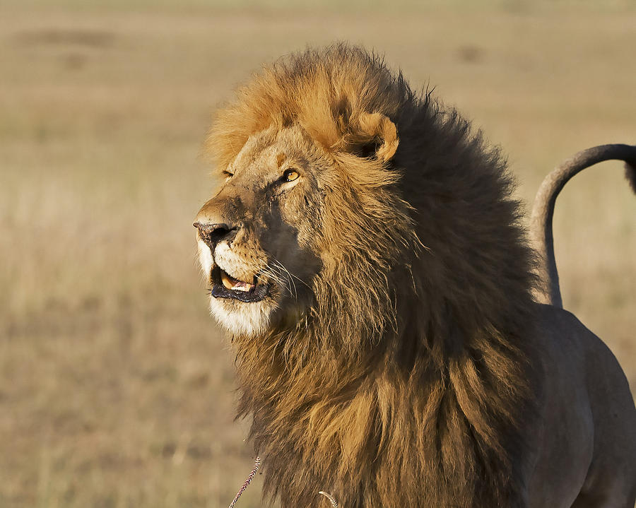 Lion Photograph - Lion Looks To Sky by Janet Ogren