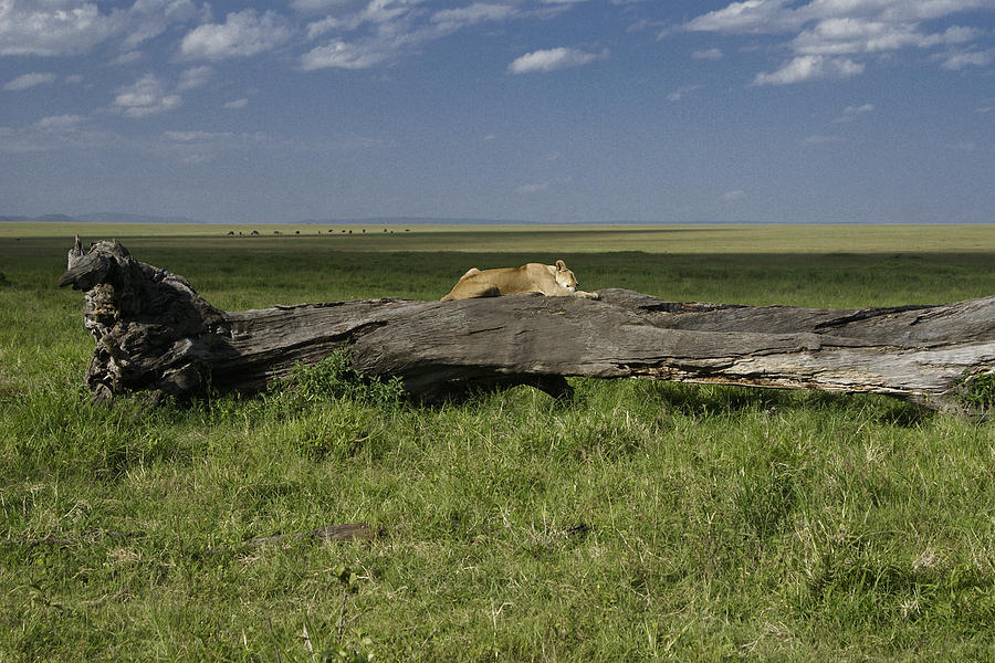 Africa Photograph - Lion on a Log by Michele Burgess