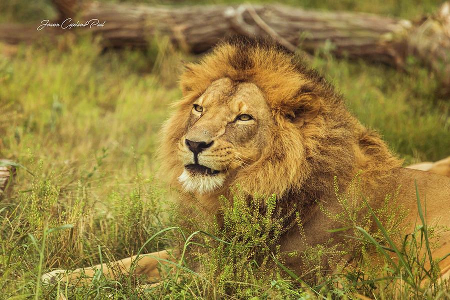 African Lion Portrait by Joann Copeland-Paul