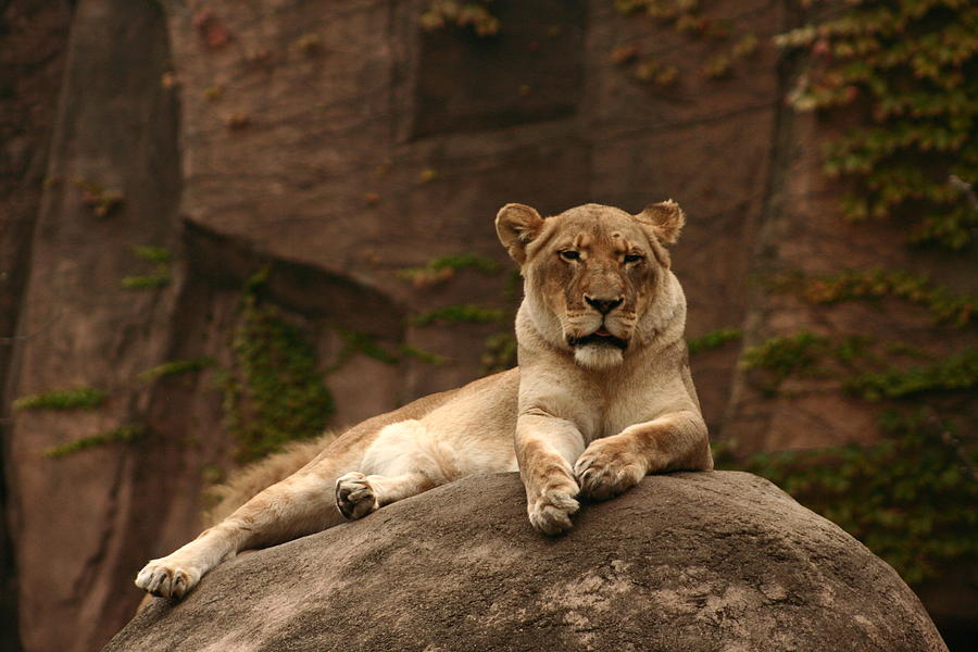 Free Photograph - Lioness by B Rossitto