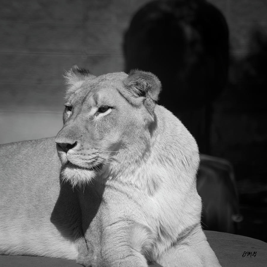 Lion Photograph - Lioness I Bw Sq by David Gordon