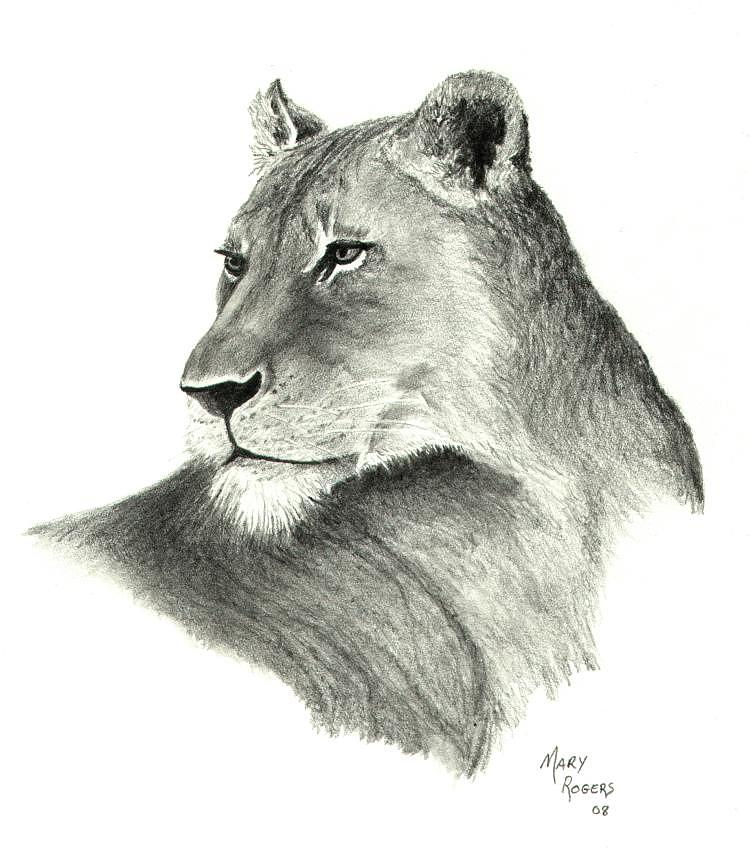 Lioness Drawing - Lioness by Mary Rogers