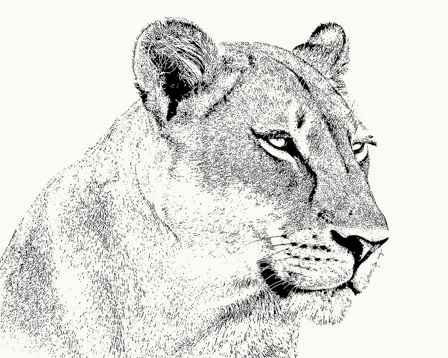 Lioness Portrait by Scotch Macaskill