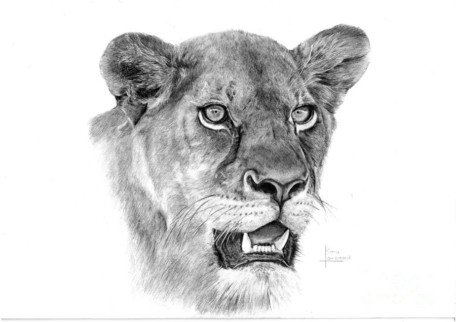 Lioness Drawing...