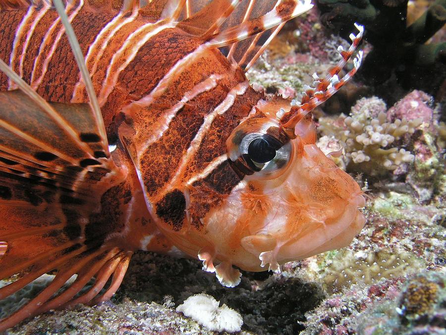 Lionfish Photograph - Lionfish Closeup by Gary Hughes