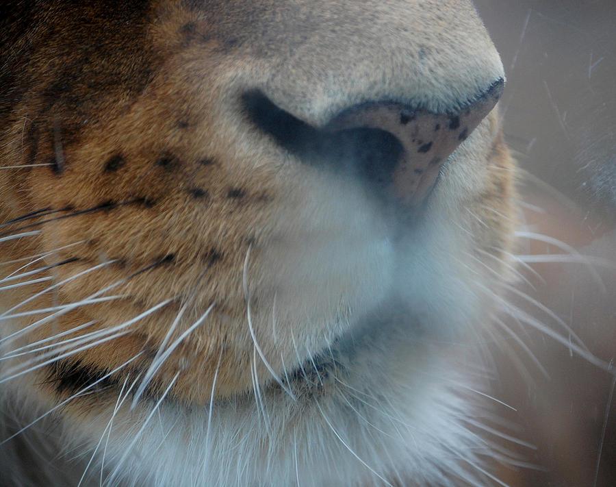 Lion Photograph - Lions Breath by Lisa Kane