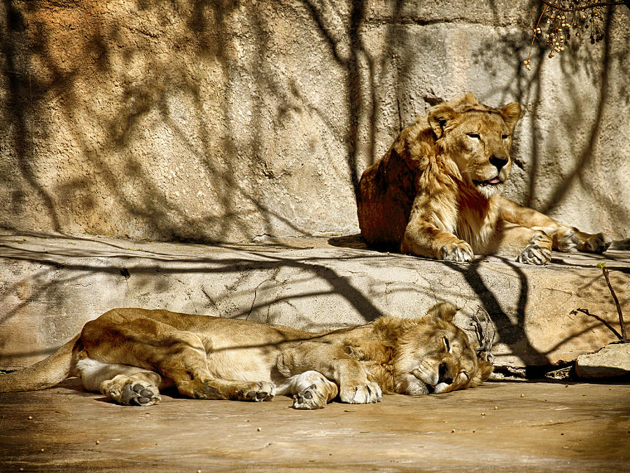 Lions Photograph - Lions Den by Charles McKelroy