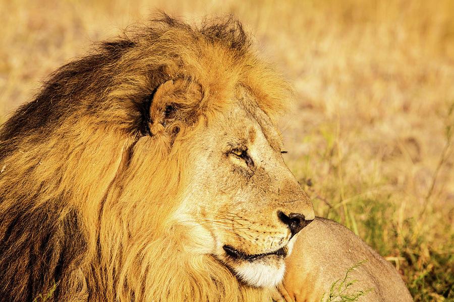 Lion Photograph - Lions Head by Matt Cohen