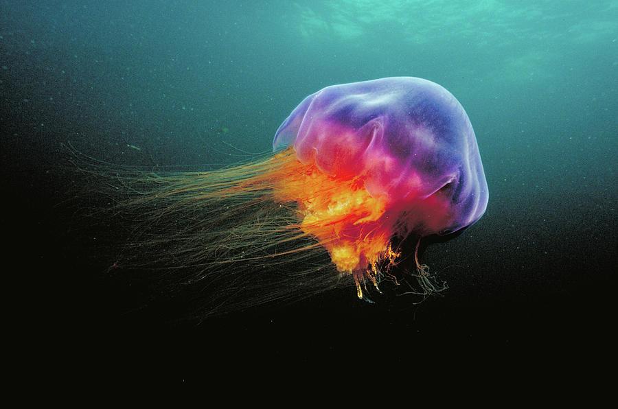 Lions Mane Cyanea Capillata Jellyfish Photograph by Scott Leslie