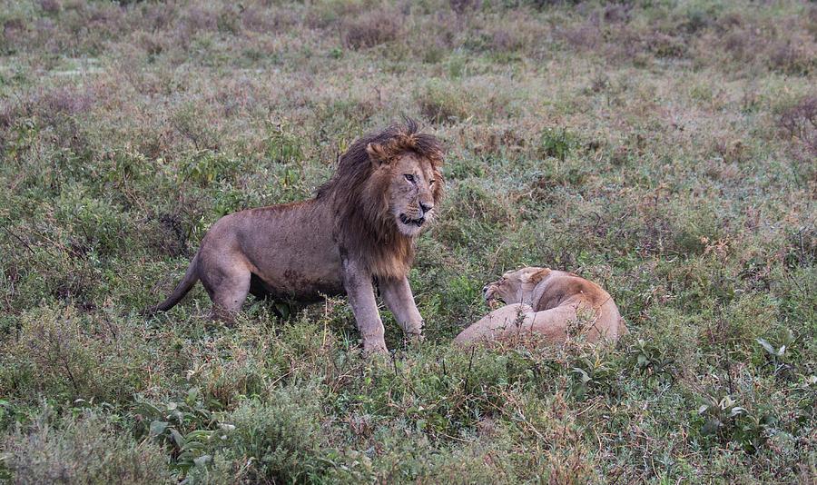 Lions Spatting by Brenda Smith DVM