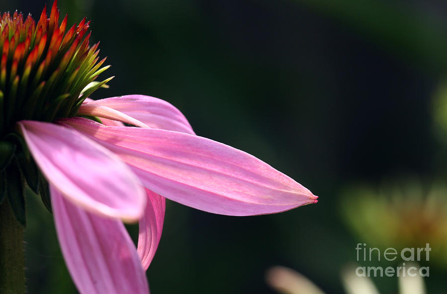 Coneflower Photograph - Lips On A Purple Coneflower by Steve Augustin
