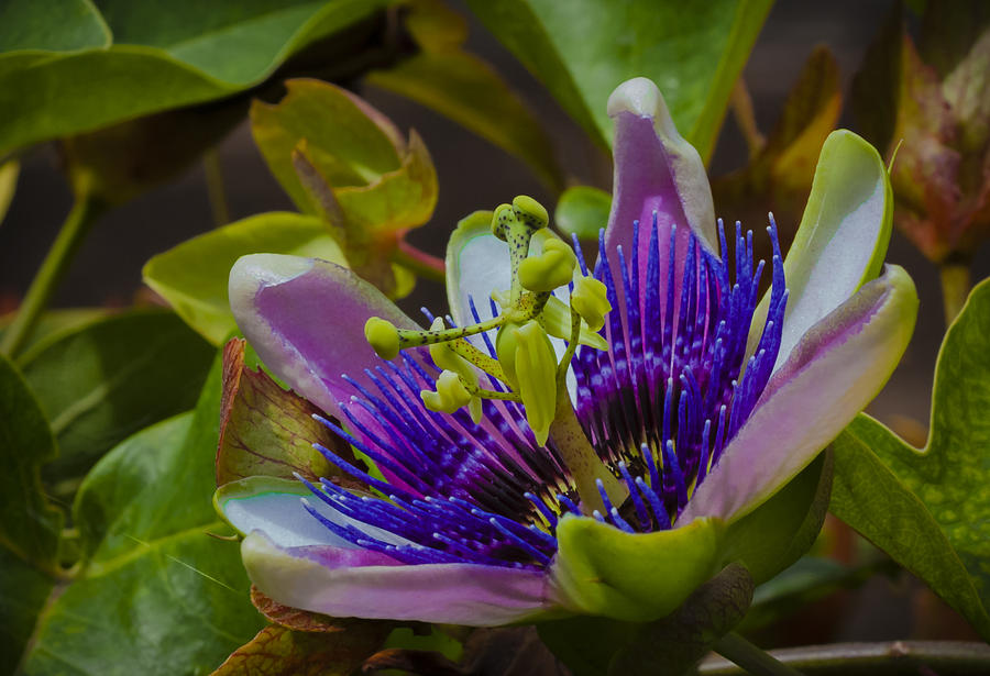 Passion Flower Photograph - Listening To Deep Space by Dennis Reagan