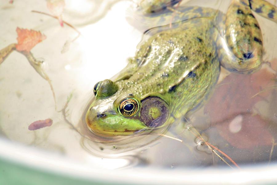 Bullfrog Photograph -  Lithobates Catesbeianus Or Rana Catesbeiana by Love Images