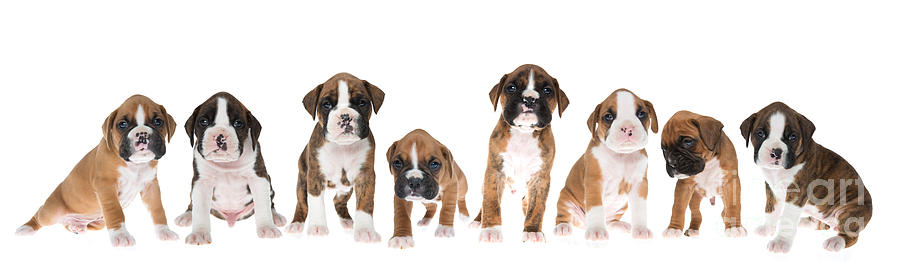 Puppies Photograph - Litter Of Boxer Puppies by Diane Diederich
