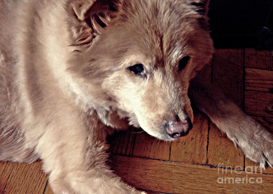 Dog Photograph - Little Bear In Old Age by Sarah Loft