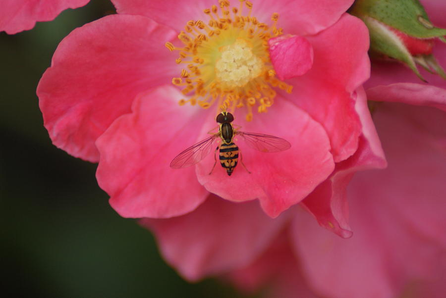 Bee Photograph - Little Bee by Heather Green
