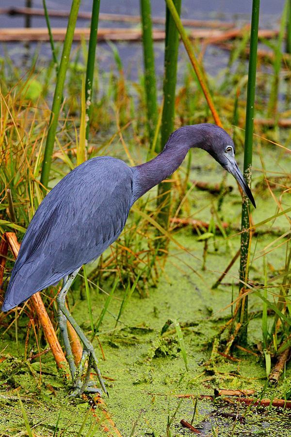 Little Blue Heron Feeding by Ira Runyan