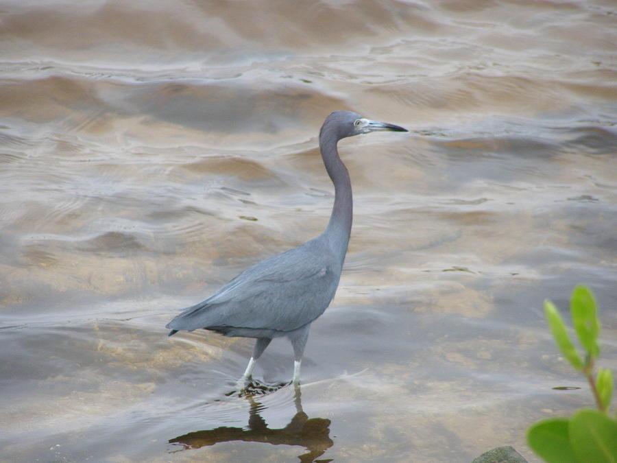 Birds Photograph - Little Blue Heron by Jeanette Oberholtzer