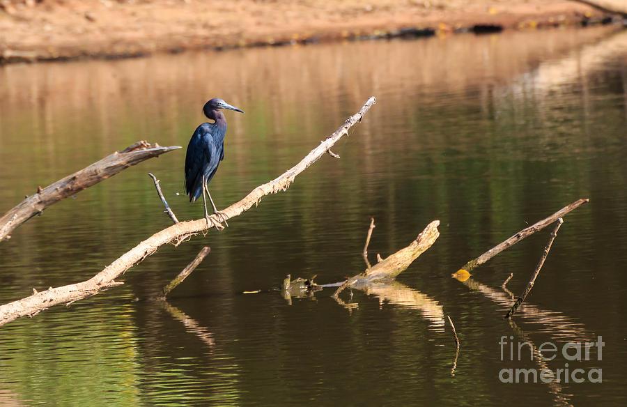 Little Blue Heron Photograph