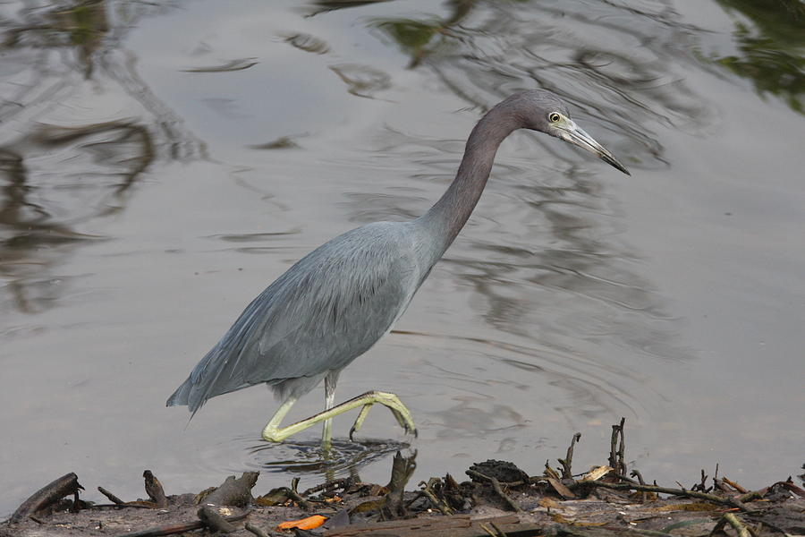 Heron Photograph - Little Blue Heron Walking by Christiane Schulze Art And Photography