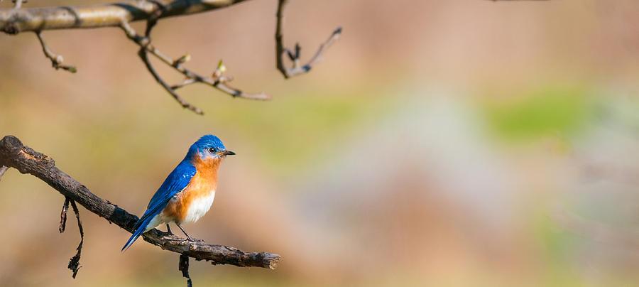 Little Bluebird Photograph by Heather Hubbard
