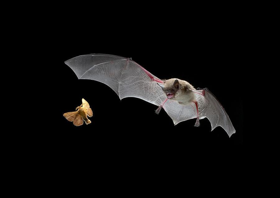 Mp Photograph - Little Brown Bat Hunting Moth by Michael Durham