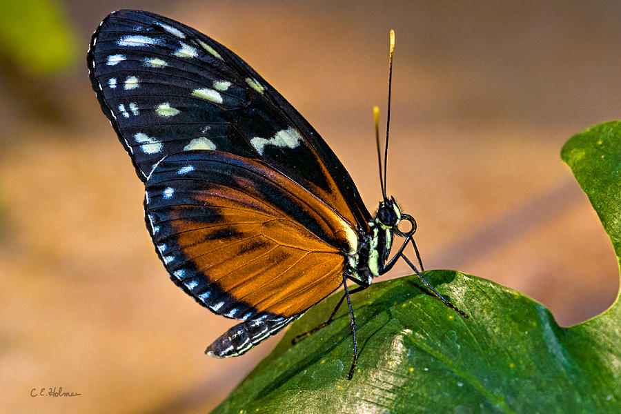 Butterfly Photograph - Little Butterfly by Christopher Holmes