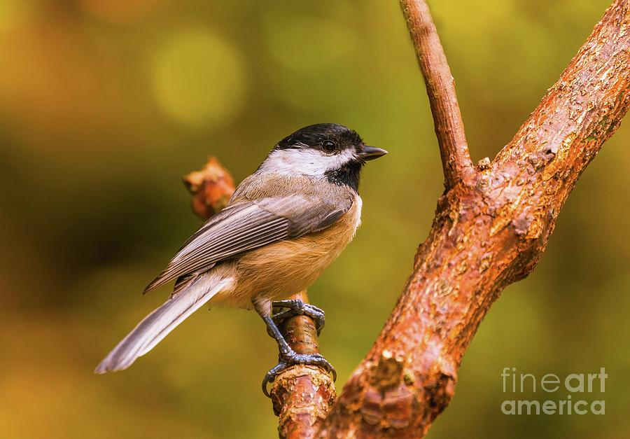 Bird Photograph - Little Chickadee by Lena Auxier