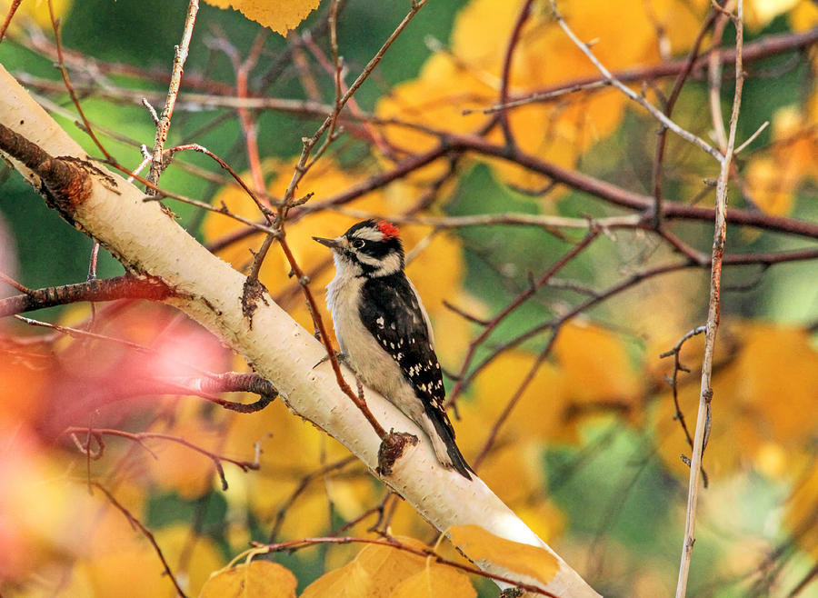 Woodpecker Photograph - Little Downy In Autumn by Donna Kennedy
