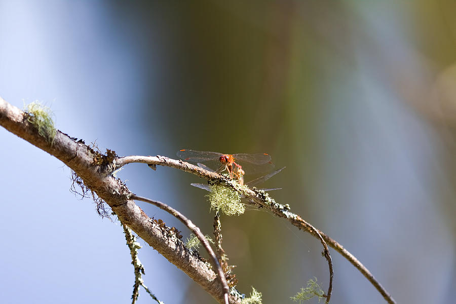 Dragonfly Photograph - Little Dragonfly by Gary Smith