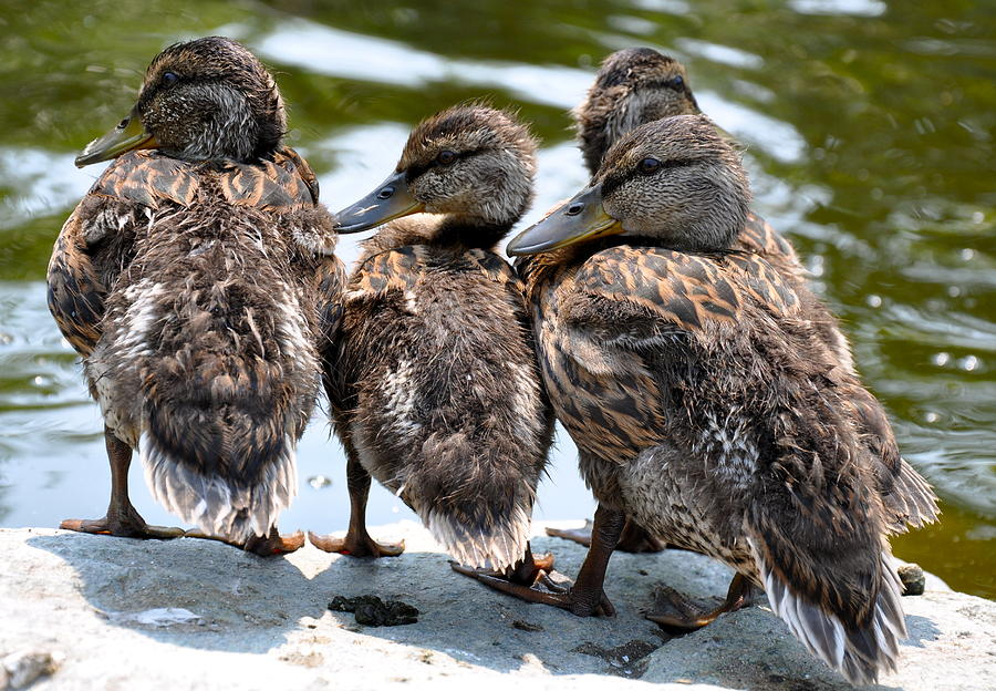 Animals Photograph - Little Ducklings in a Row by Caroline Reyes-Loughrey