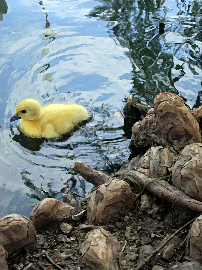 Duck Photograph - Little Ducky by Angelina Vick