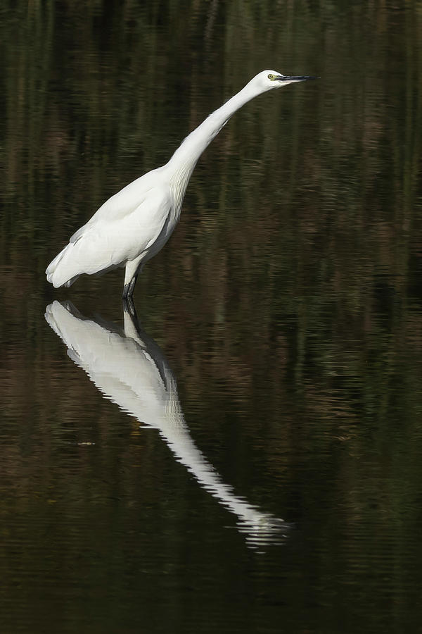 Little Egret - Egretta Garzetta Photograph
