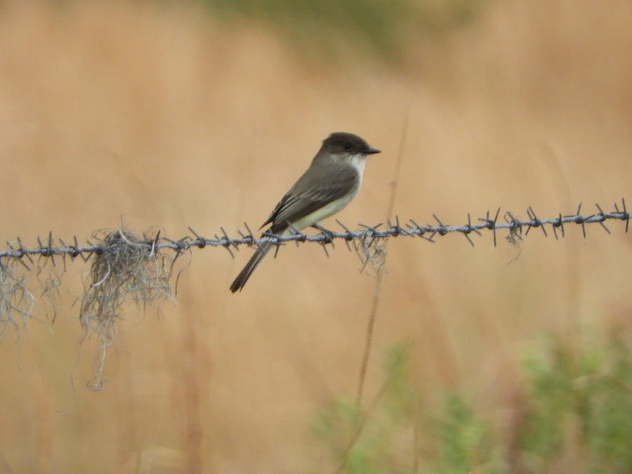 Flycatcher Photograph - Little Flycatcher On The Prairie by Red Cross