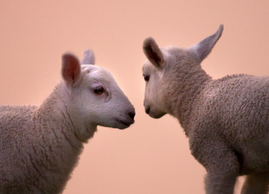 Lamb Photograph - Little Gossips by Angel Ciesniarska