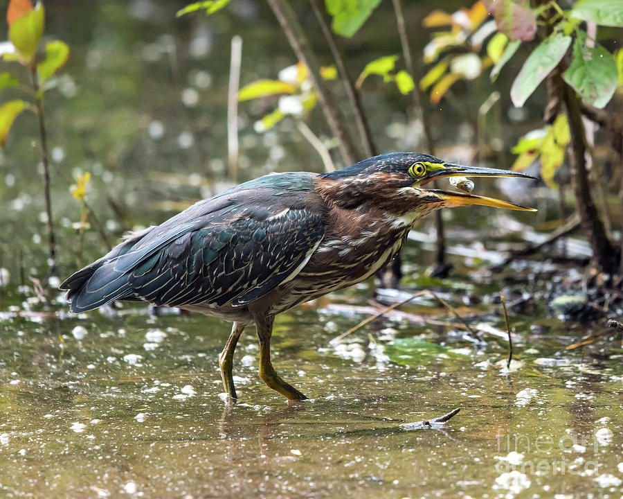 Bird Photograph - Little Green Heron With Fish by Eric Killian