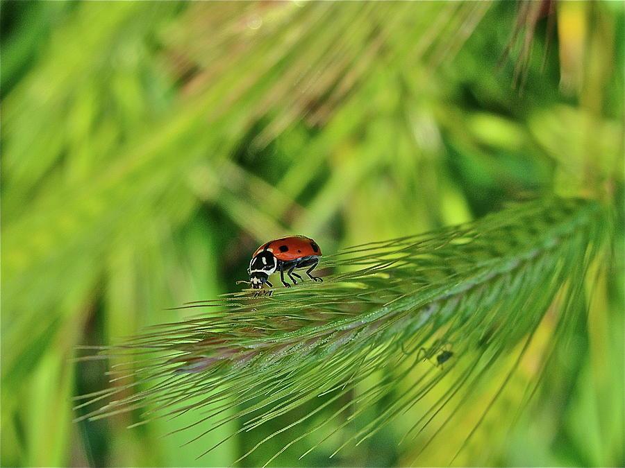 Ladybug Photograph - Little Lady by Diana Hatcher