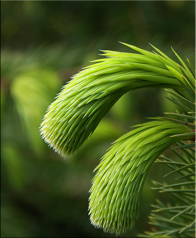 Pine Needles Photograph - Little Lances by Mark Denham