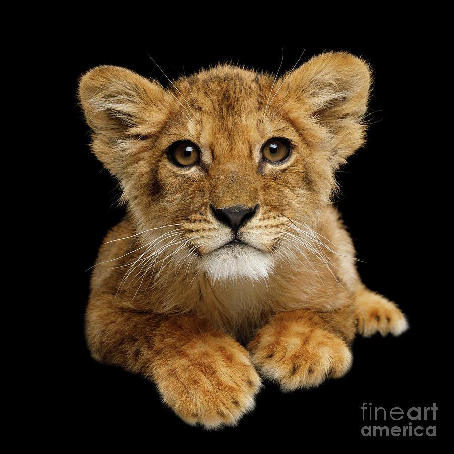 Little Lion by Sergey Taran