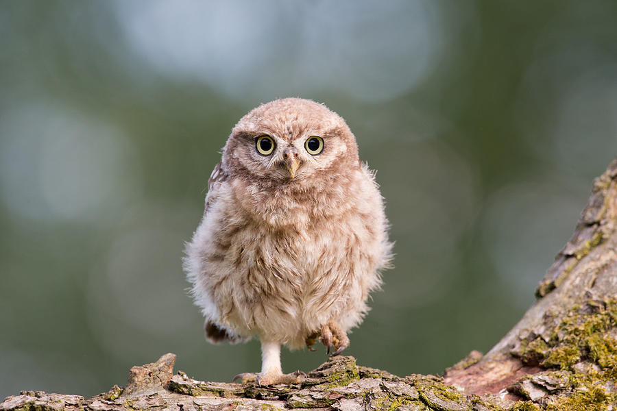 Owl Photograph - Little Owl Chick by Roeselien Raimond