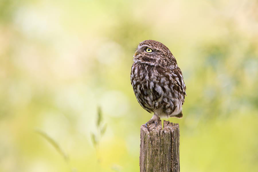 Owl Photograph - Little Owl Looking Up by Roeselien Raimond