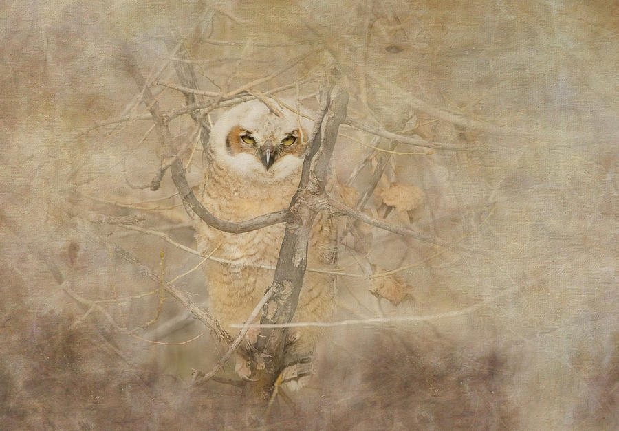 Little Owlet at Sunset by Vicki Stansbury