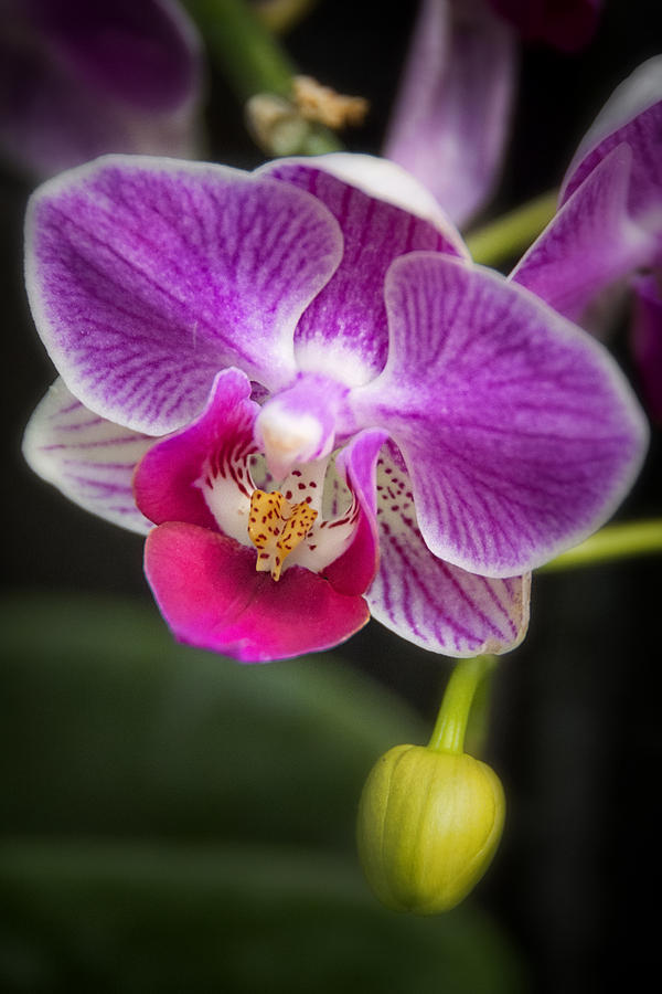 Orchid Photograph - Little Pink by Robert Fawcett