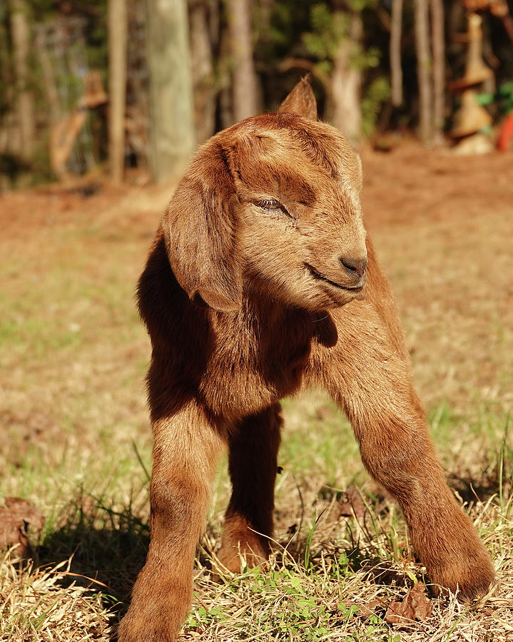Little Red Goat Photograph