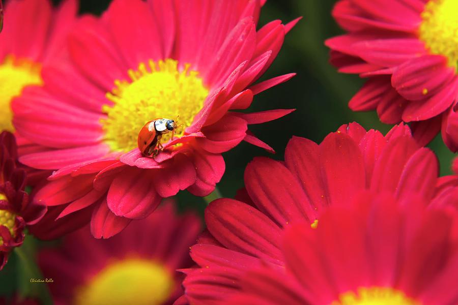 Ladybug Photograph - Little Red Ladybug by Christina Rollo
